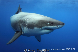 Cal Ripfin cruising by the cages. by Greg Zagaglia