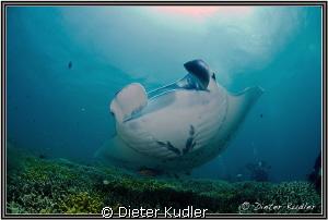 Manta Ray by Dieter Kudler