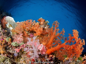 Bright soft corals Canon 60D, Tokina 10-17mm, ISO 100, F... by Iyad Suleyman