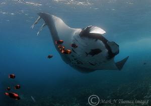 Manta and clarion angelfish. Cabo Pearce, Socorro Island... by Mark Thomas
