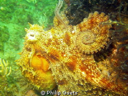 Common Octopus - Angies Reef, Mossel Bay by Philip Goets