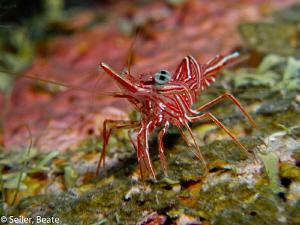Durban dancer shrimp by Beate Seiler