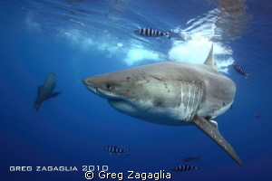 Scarboard her pilot fish and Seal, playing in the warm wa... by Greg Zagaglia