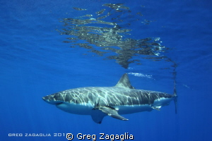 Isla Guadalupe - Home of the Great White. by Greg Zagaglia
