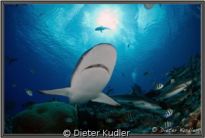 Shark on Yap Island by Dieter Kudler