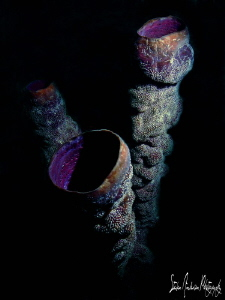 Tube sponges off Roatan Honduras by Steven Anderson