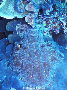Bird's-eye view of Wobbegong Shark. Raja Ampat. Sea and S... by Morgan Ashton