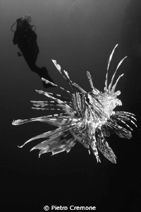 Lionfish dance by Pietro Cremone