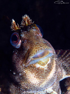 Praying blenny by Pietro Cremone