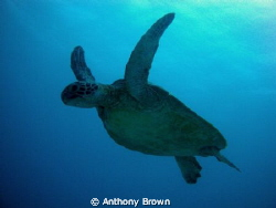 turtle heading up for a breath of the good stuff. by Anthony Brown