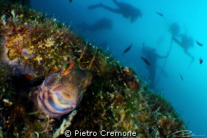 Blenny with divers  First test shots with INON Bugeye le... by Pietro Cremone