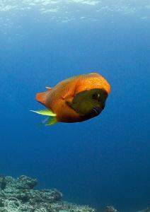 Clarion angelfish. Cabo Pearce, Isla Socorro. D3 15mm fi... by Mark Thomas