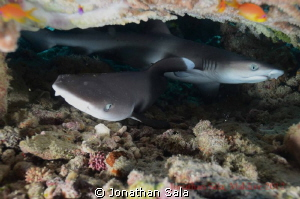 Juvenile White Reef Typ Shark by Jonathan Sala