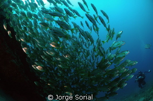 A shoal of bastard grunts at the forefont and my buddy, A... by Jorge Sorial