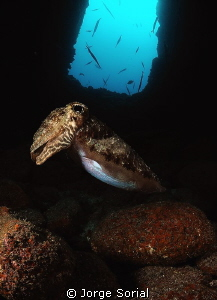 Cuttlefish posing in a tunnel, one of the two entrances i... by Jorge Sorial