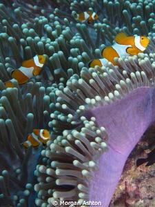 Clownfish Party. Raja Ampat. Sea and Sea DX-2G. by Morgan Ashton