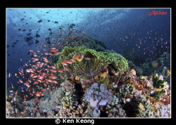 taken in Anilao by Ken Keong