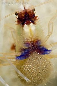Banded Coral Shrimp with Eggs by Tony Cherbas