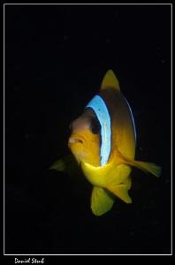 Red sea anemonefish (a.bicinctus) :-D by Daniel Strub