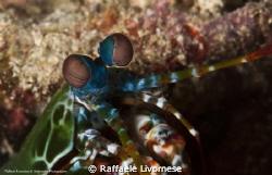 Peacock mantis shrimp, taken at 7 mt depth, behind a soft... by Raffaele Livornese