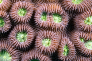 coral pattern by Mathieu Foulquié