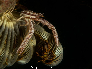 Crinoid squat lobster on the feather star