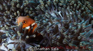 Clown Fish by Jonathan Sala