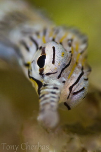 Scribbled Pipefish Profile:  Nikkor 105VR, +10 Subsee by Tony Cherbas