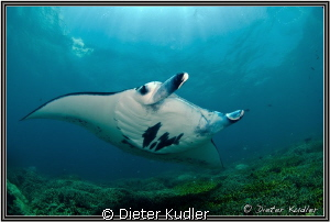 Manta at Mill Channel, Yap Island, Micronesia by Dieter Kudler