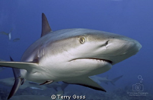 """May I help You, Sir?"" - a young female caribbean reef sh... by Terry Goss"