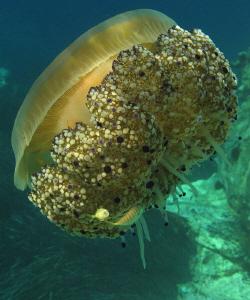 Jelly (Cotylorhiza tuberculata) submarine offshore Paxos... by Chris Krambeck
