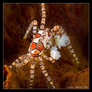 Mosaic Boxer Crab Canon G12 (Ikelite housing) 1/250s | ... by John Clifford