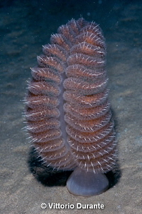 Sea pen by Vittorio Durante