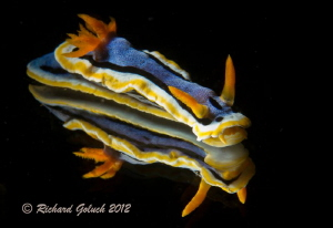 Chromodoris Annae-Lembeh by Richard Goluch