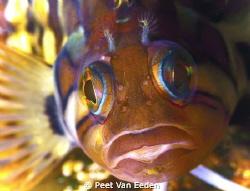 colourful klipfish by Peet Van Eeden
