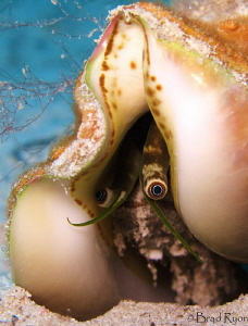 Caribbean queen conch (Strombus gigas) by Brad Ryon
