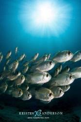 Threadfin pearl perch Exmouth, Ningaloo Reef, Western Au... by Kristin Anderson