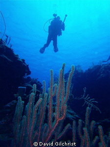 Coral & Diver, SeaLife DC 1400 camera, Roatan, West End M... by David Gilchrist