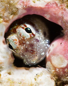 The Easter Blenny by Tony Cherbas