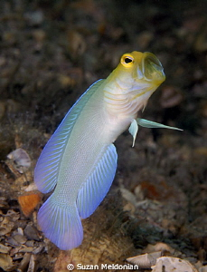Yellow headed jawfish by Suzan Meldonian
