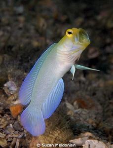 Yellow headed jawfish by Suzan Meldonian