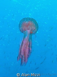 Jellyfish by Alan Mizzi