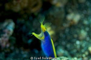 Blue Ribbon Eel Canon 60D, 100 mm macro lens, ISO 200, ... by Iyad Suleyman