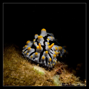 Nudibranch Canon G12 (Ikelite housing) 1/250s | f5.6 | ... by John Clifford