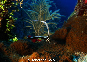 A lovely Drum Fish by Jonathan Sala