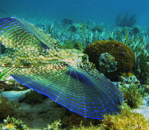 Flying Gurnard (Dactylopterus volitans) at Water Cay in 3... by Brad Ryon