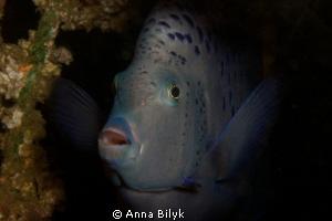Yellow-band angelfish by Anna Bilyk