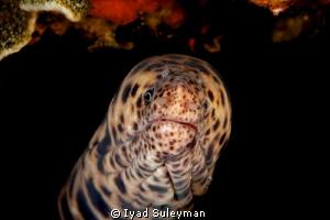 Moray Eel by Iyad Suleyman