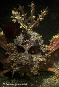Spiny Devilfish-Lembeh by Richard Goluch