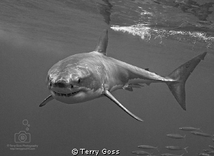 """young white turns"" - a lithe, young white shark (Carchar... by Terry Goss"